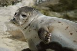 Tuleni na ostrově Skye